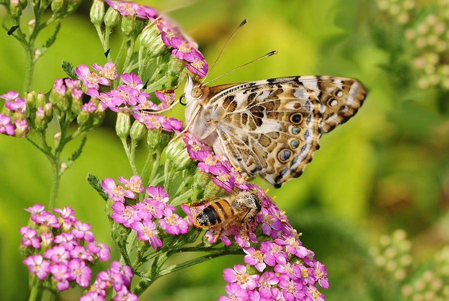 Painted Lady Butterfly Kits